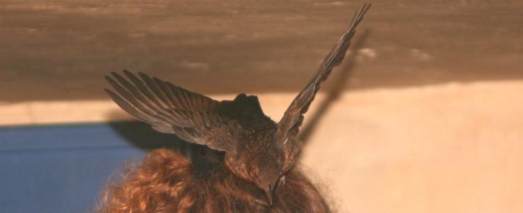 Amsel auf Kopf
