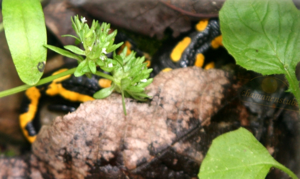 Feuersalamander im Garten der Schamanenstube