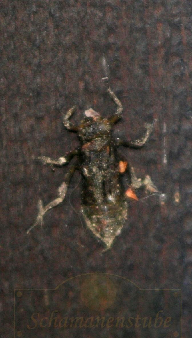Libelle Metamorphose