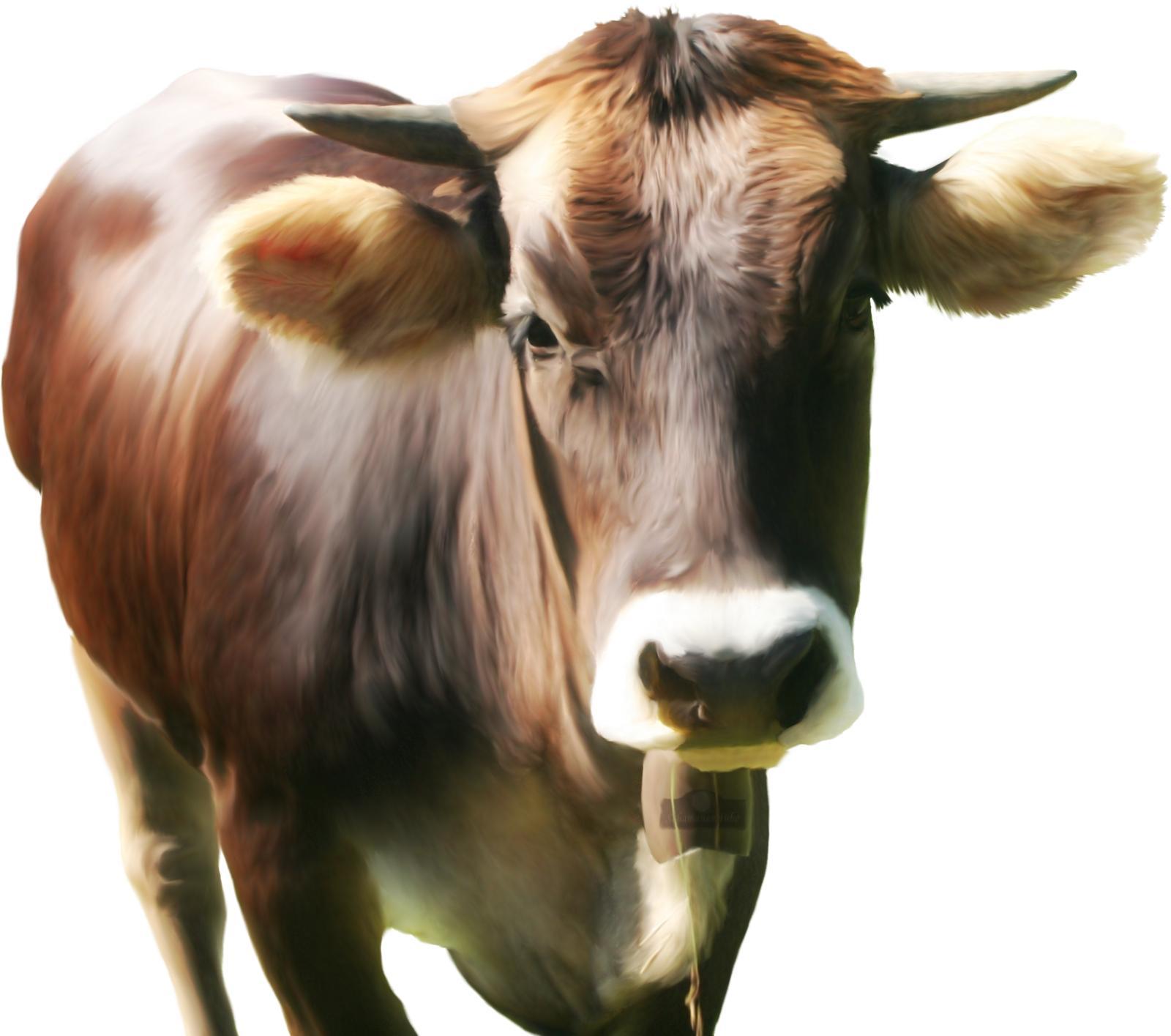 Franz Hohler's Kuh