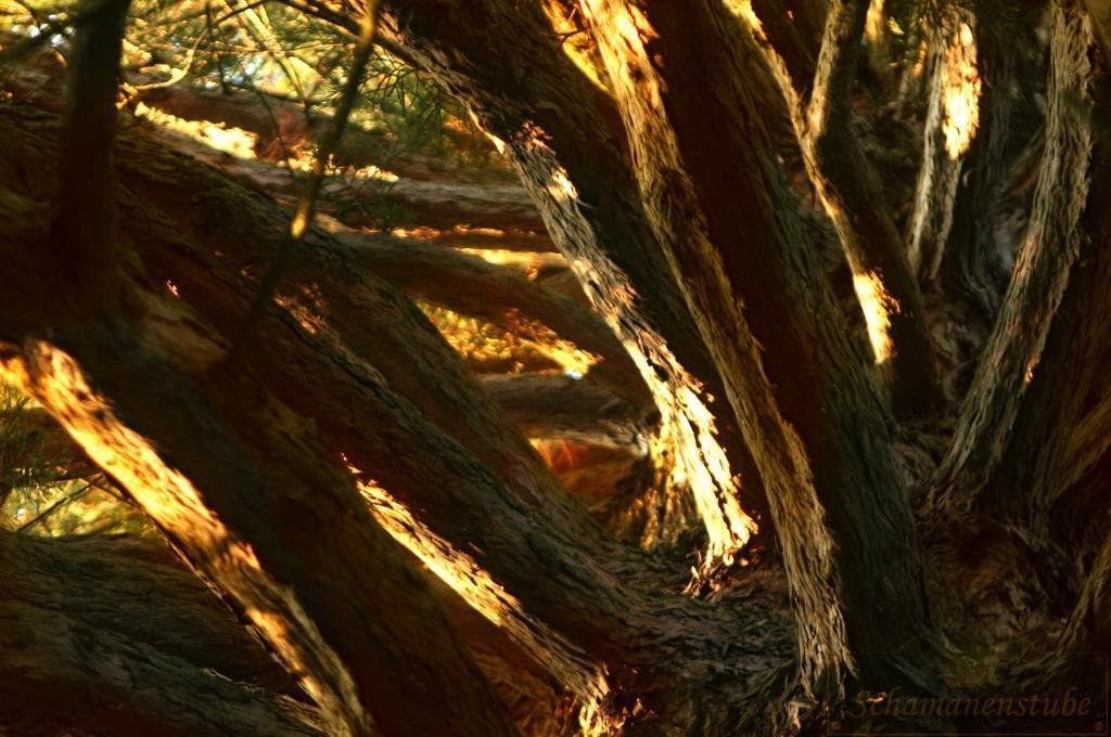 Mammut Baum