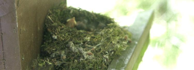 Jungvögel im Nest
