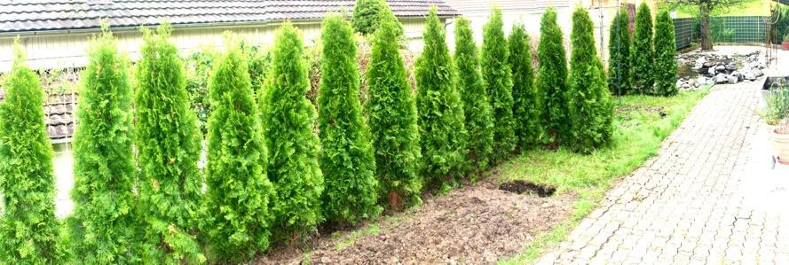 Thuja - Giftpflanze mit Heilwirkung