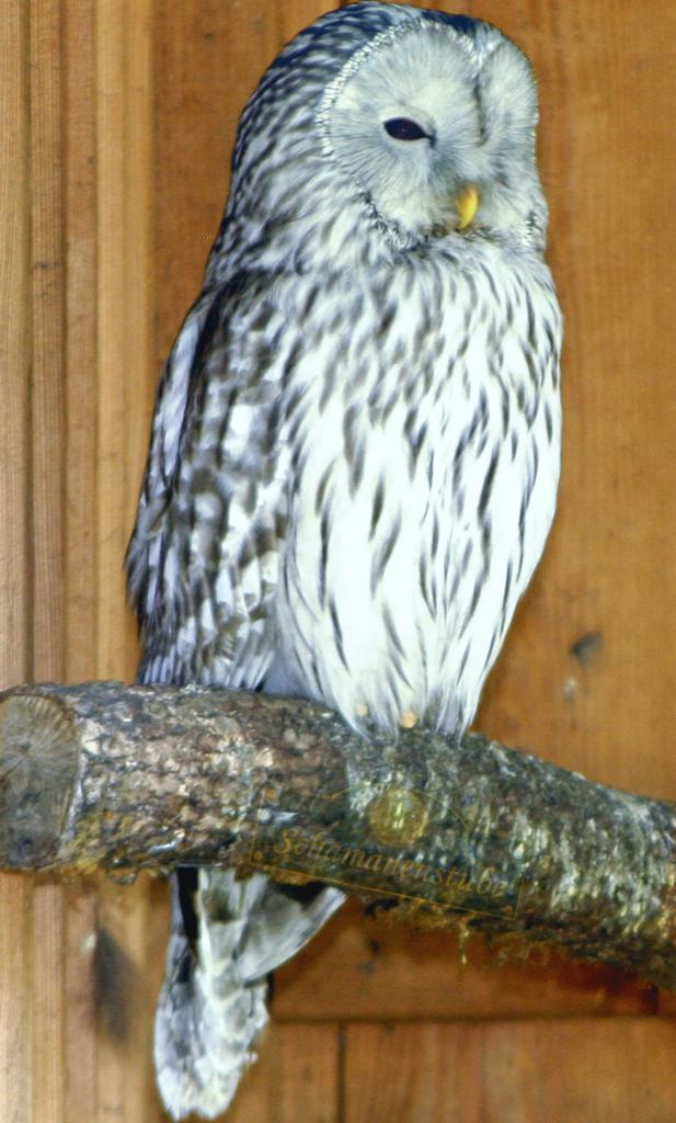 Strix Uraliensis